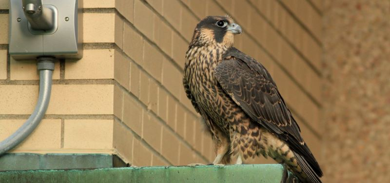 Image shows a close up view of a Peregrine falcon sitting on a building ledge with brick background