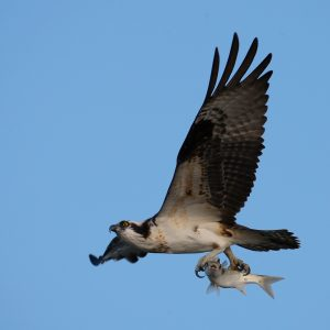 Photo of a bird of prey on a background of blue sky. The bird is in flight with a fish in its talons