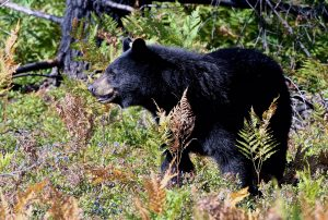 Photo of a black bear on a background of green foliage in a field of wild blueberries